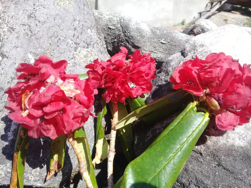 Rhododendron (Laligurans, national flower of Nepal)